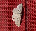 moth 3 - Iridopsis