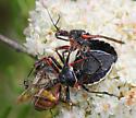 Apiomerus californicus - Apiomerus - male - female