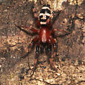 Beauty - Sergiolus capulatus - male