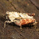 Small grasshopper - Nomotettix cristatus - female