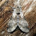 Gray Furcula - Hodges #7937 - Furcula cinerea