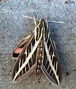 Moth? - Hyles lineata