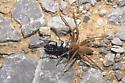 Spider Wasp with Nursery Web Spider - Anoplius depressipes - female