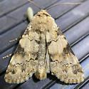 Protoperigea sp.? - Agrotisia evelinae
