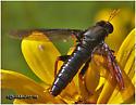 Bug - Mydas tibialis