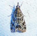 Many-spotted Scoparia Moth - Eudonia heterosalis