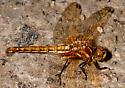 Dragonfly - Sympetrum madidum