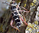 Mating Longhorns - Neoclytus caprea - male - female