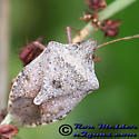 Stink Bug 6 - Euschistus servus