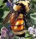 Orange striped bumblebee - Bombus huntii