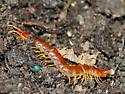 Centipede with bubble eyes? - Scolopocryptops sexspinosus