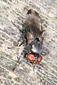 small Fly - Euxesta notata? - Euxesta notata - female