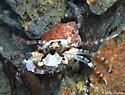 tiny crab in tidepool - Carcinus maenas