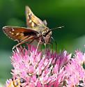 Woodland Skipper - Atalopedes campestris - female