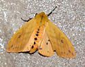 Black and Orange Moth - Pyrrharctia isabella