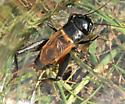 Field Cricket (Gryllus sp.)? - Gryllus - male