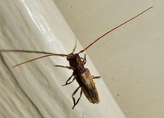 Another longhorn, this one with short elytra. - Methia necydalea