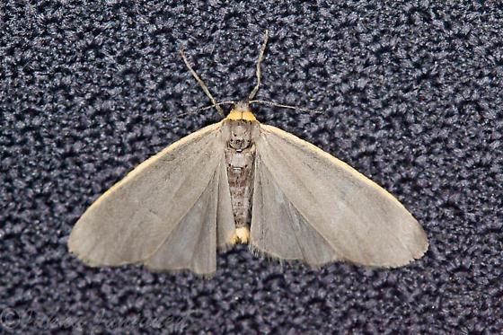 orange-bordered moth - Manulea bicolor