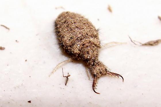 Antlion Larva - Myrmeleon