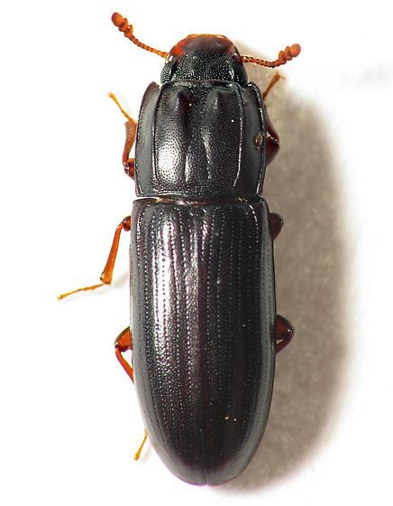 Ridged Beetle - Aulonium parallelopipedum