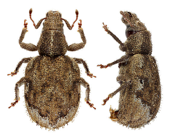 Oregon weevil - Sciopithes obscurus