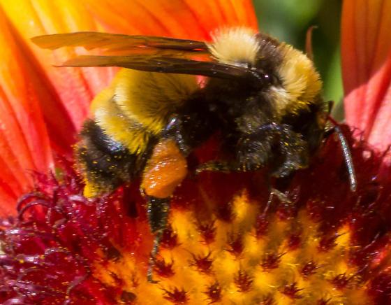 Balboa bumble bee - Bombus sonorus