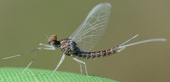 Mayfly? - Callibaetis ferrugineus - male