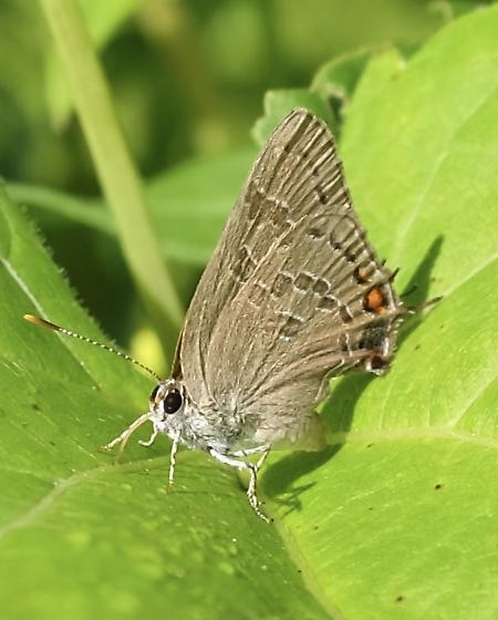 Hairstreak butterfly? - Satyrium caryaevorus