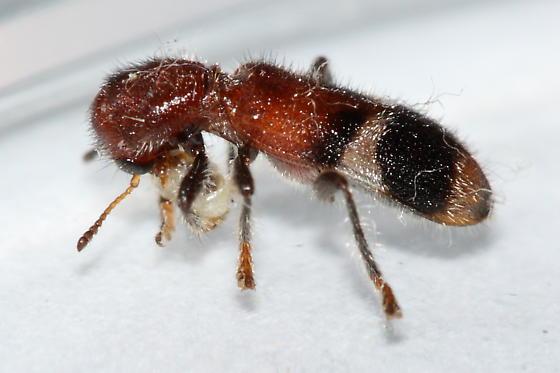 Checkered Beetle - Enoclerus rosmarus