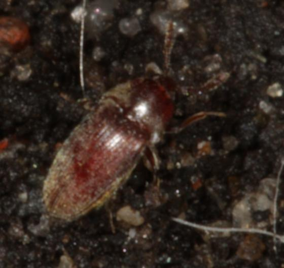 Red beetle found under a rock