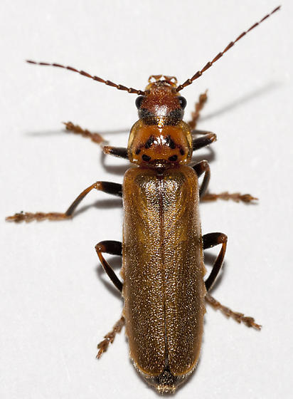 soldier beetle cantharis rufa bugguidenet