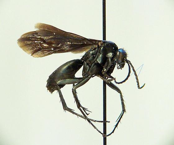 Paracyphononyx funereus - Paracyphononyx - male