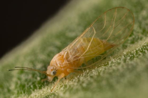 Arroyo willow psyllid - Cacopsylla - female
