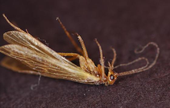 Mecoptera - Brachypanorpa oregonensis