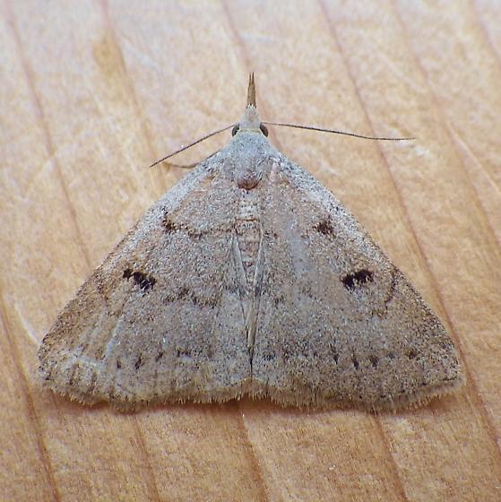 Erebidae: Chytolita morbidalis - Chytolita morbidalis - female
