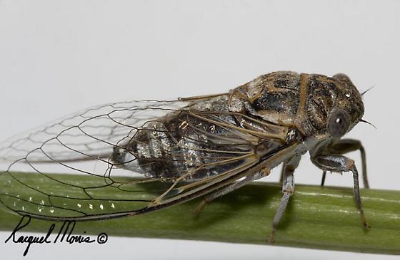 Cicada I think - Diceroprocta eugraphica