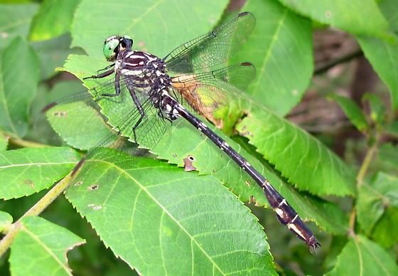 Odonata - Stylurus spiniceps