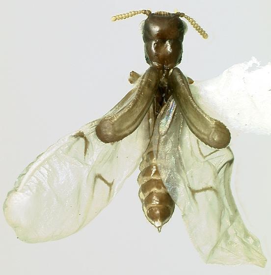 Micromalthidae Micromalthus debilis - Micromalthus debilis