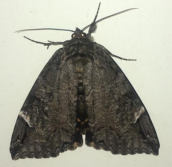 Underwing Moth 6-29-19 - Euparthenos nubilis