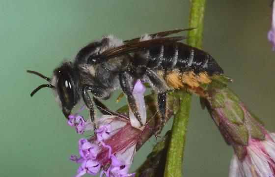 Bee from Spring Island - Megachile - female
