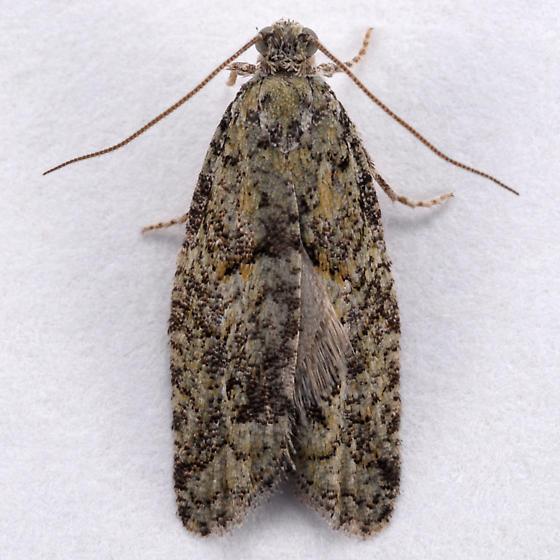 Unknown moth - Epinotia hopkinsana