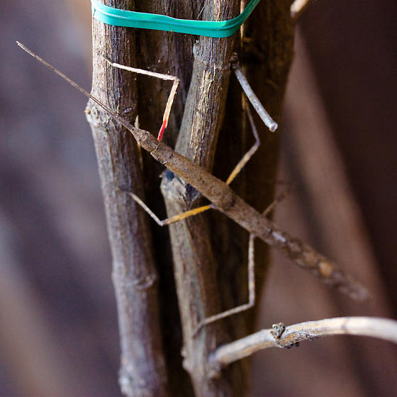 Indian Stick Insect? - Carausius morosus - female