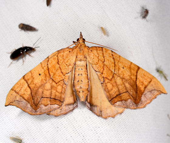 Eulithis