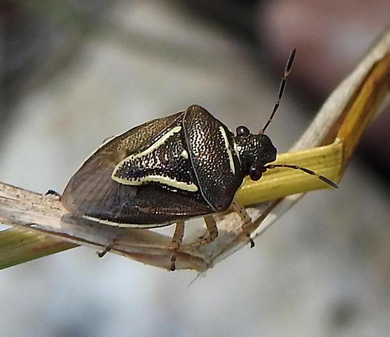 bug - Mormidea lugens