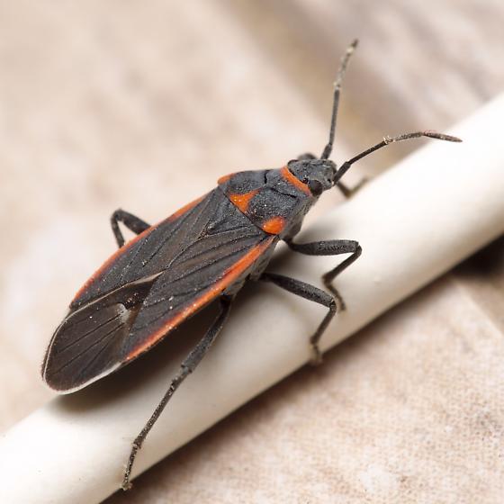 Red and black true bug - Melacoryphus lateralis - BugGuide Net
