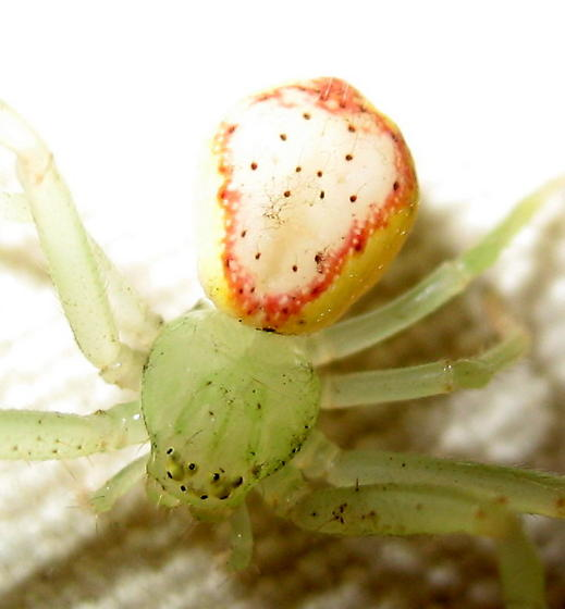 Misumenops? - Diaea livens - female