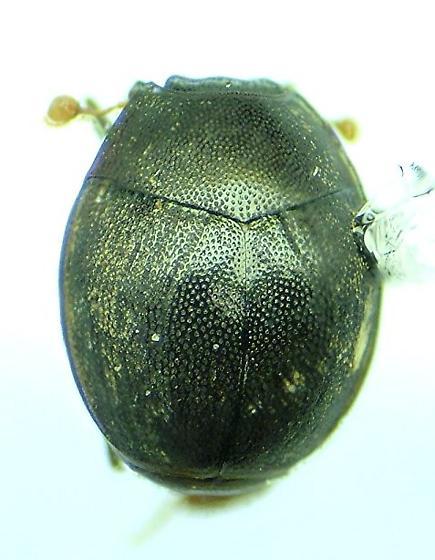 Caerosternus americanus