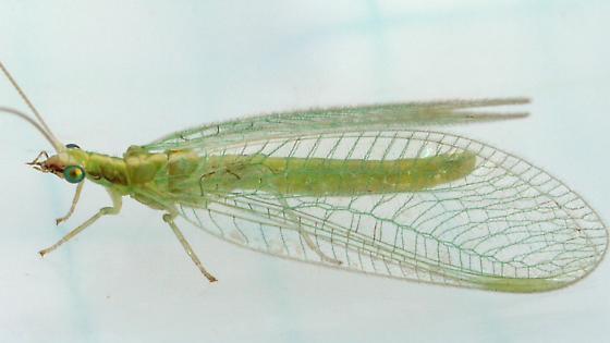 Green Lacewing - Chrysoperla rufilabris