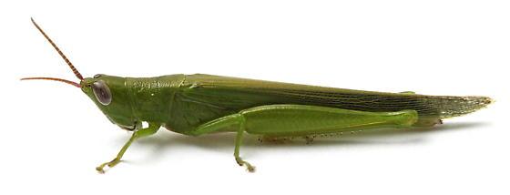 Stenacris vitreipennis - female