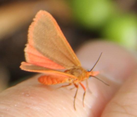 Orange moth - Virbia immaculata